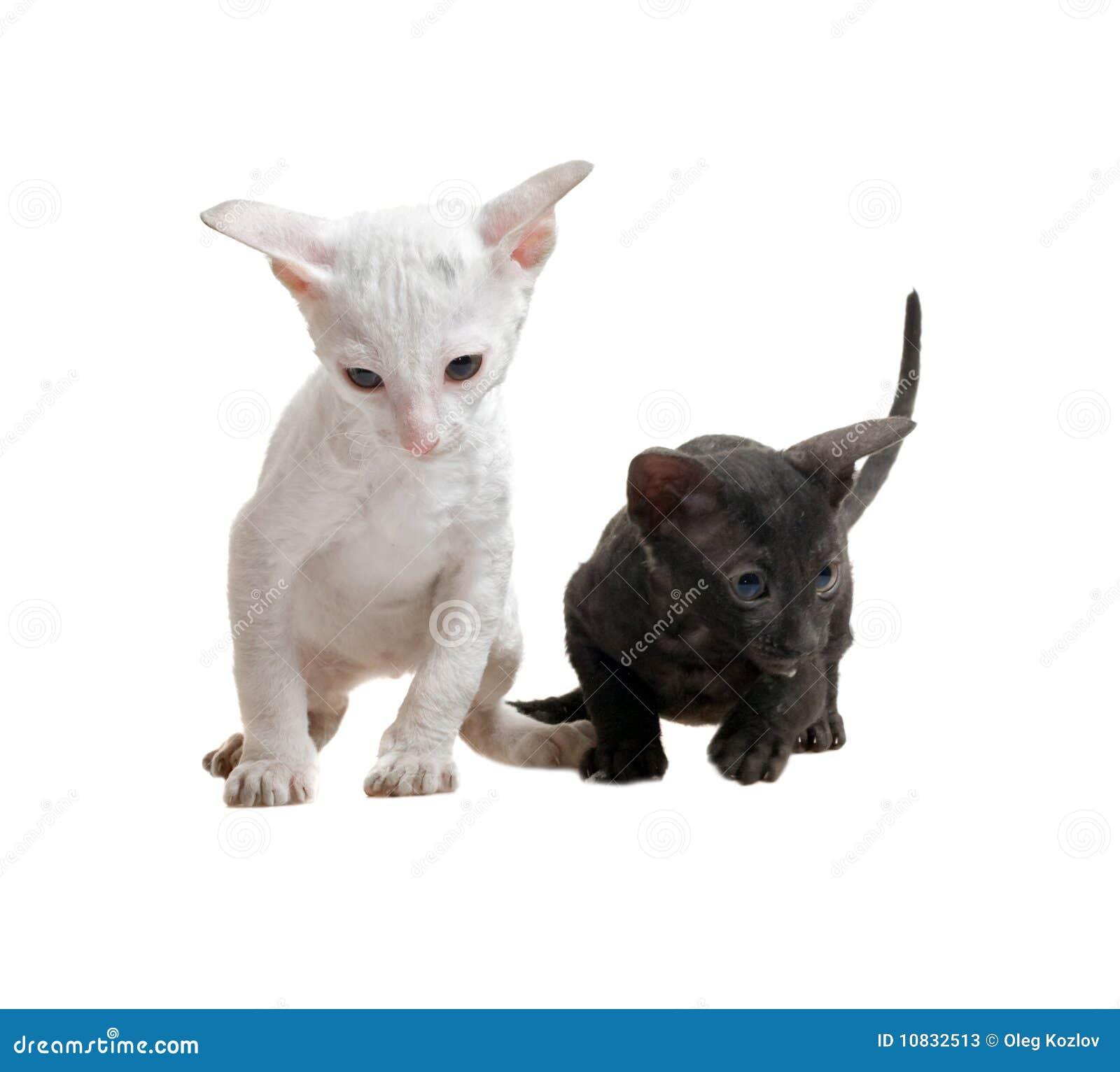 White And Black Cornish Rex Kittens Stock s Image