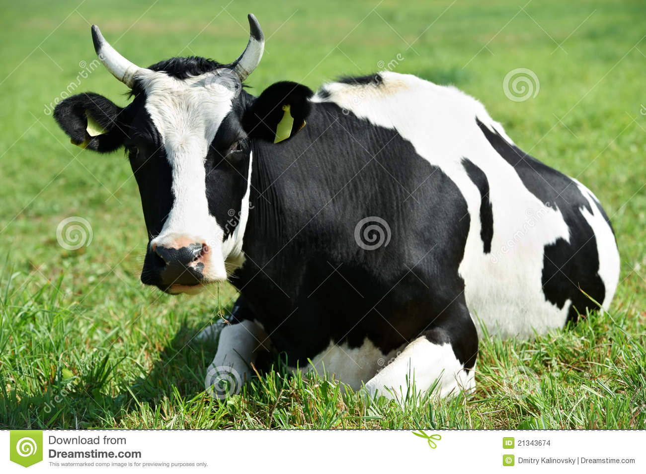 White Black Milch Cow On Green Grass Pasture Stock Images