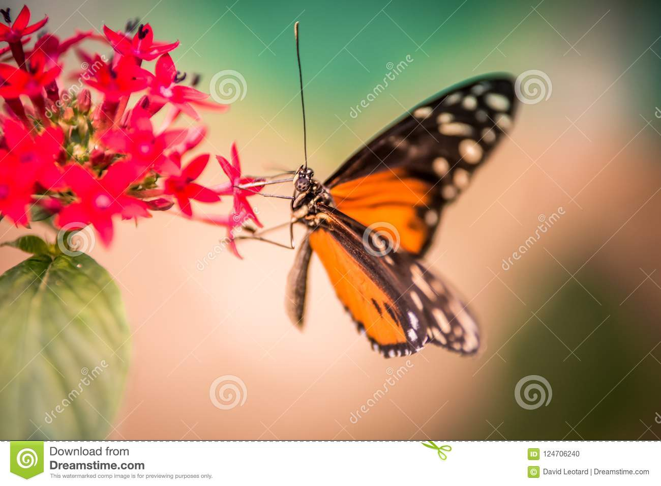 White And Black Orange Butterfly On A Red Flower Alone On Pink And Green Backgrounds Stock Photo Image Of Romantic Contrast 124706240