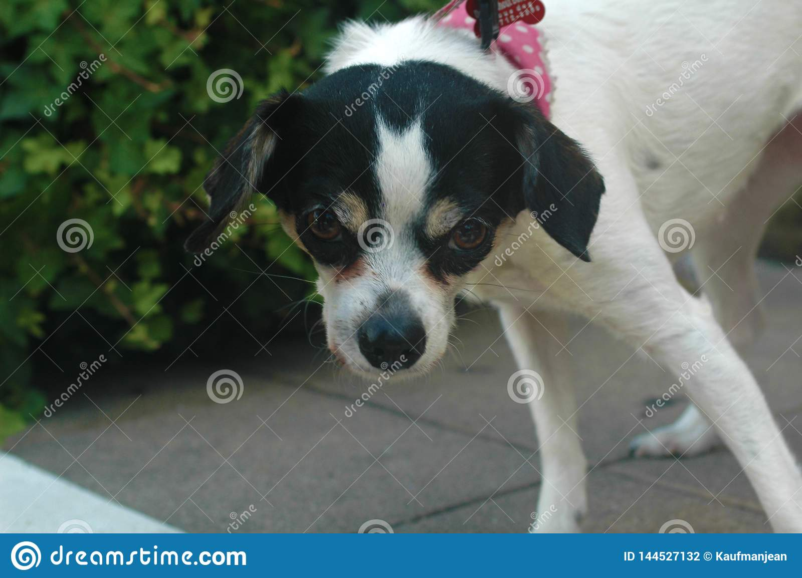 White and Black short smooth haired female Chihuahua attitude