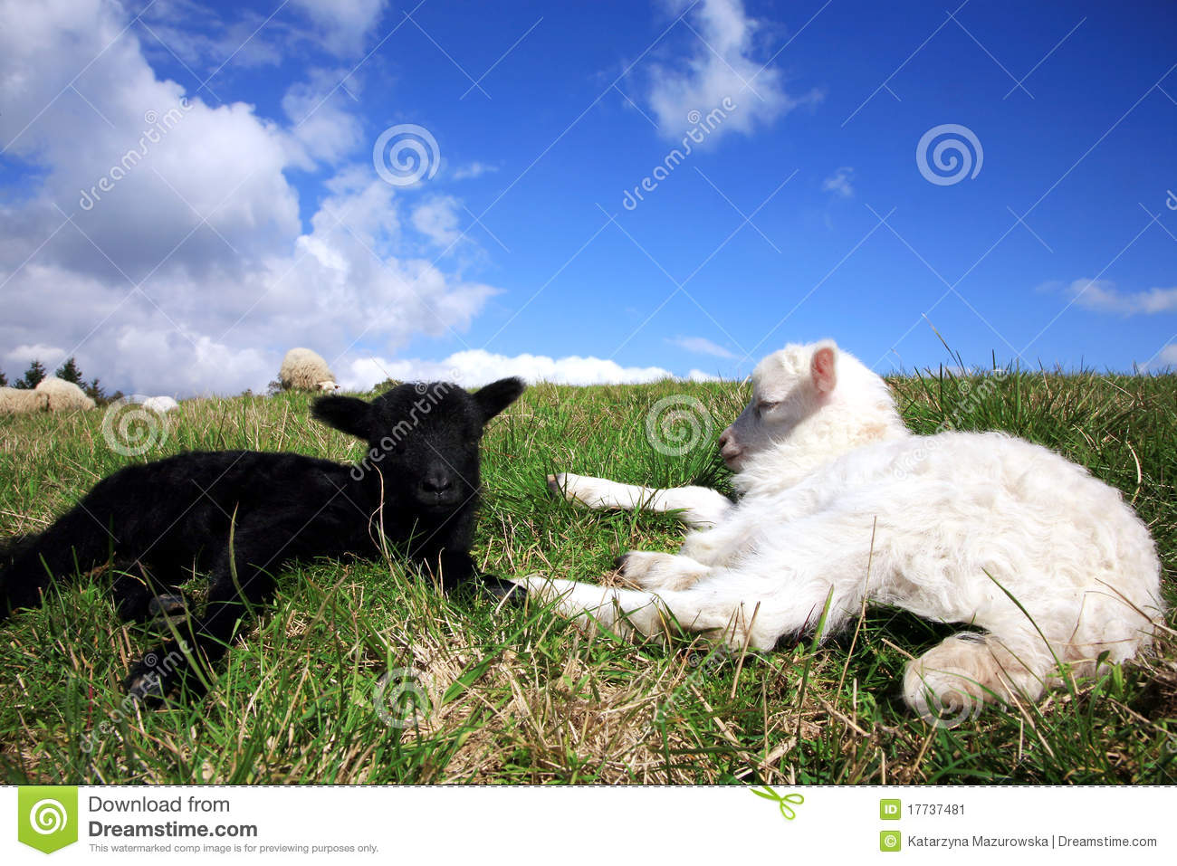 Lamb Sleeping Cartoon Stock Photos Images Royalty Free