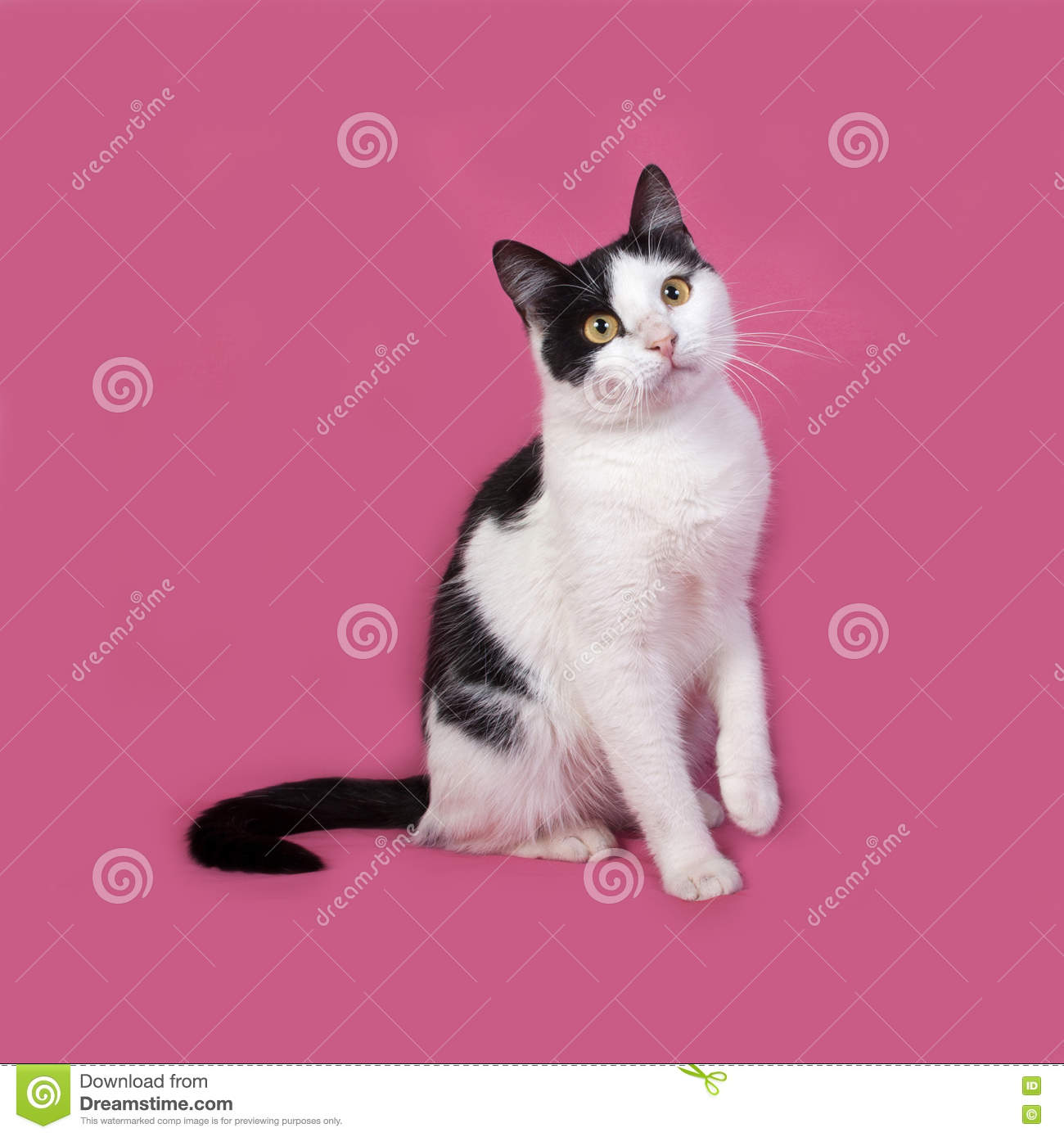 White And Black Spotted Cat Sitting On Pink Stock Image - Image of ...