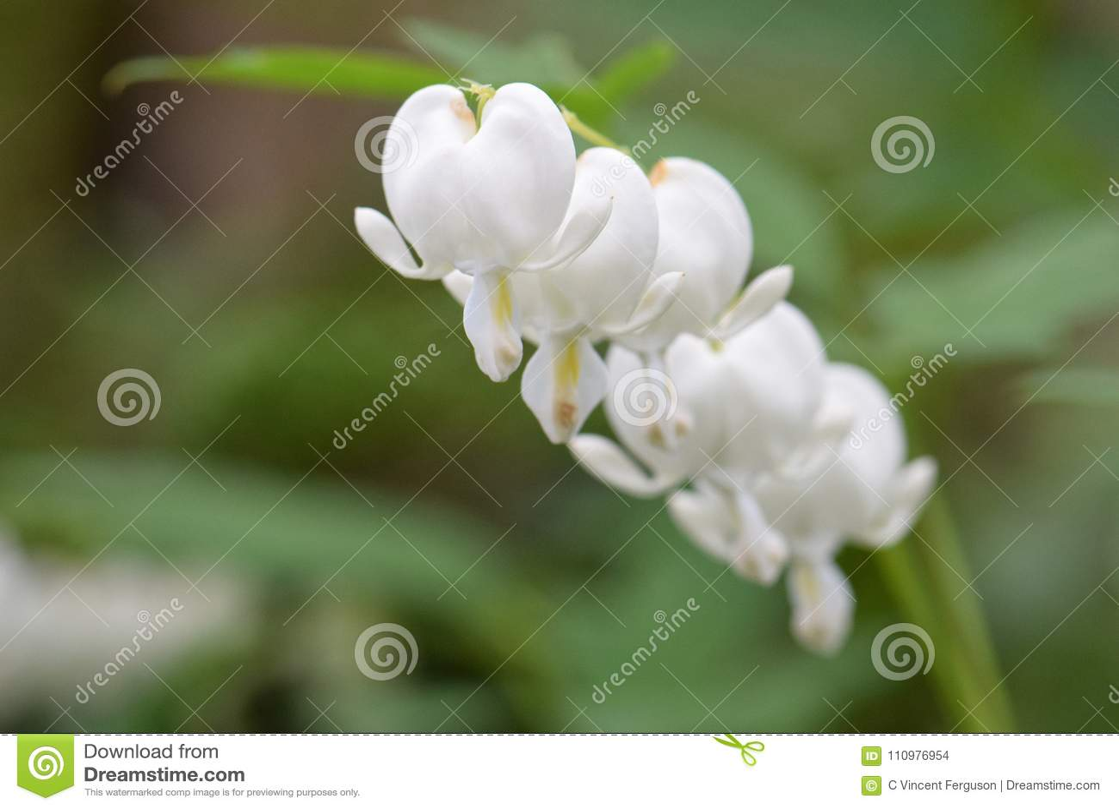 White Bleeding Heart Flowers On Vine Stock Photo Image Of Blossom
