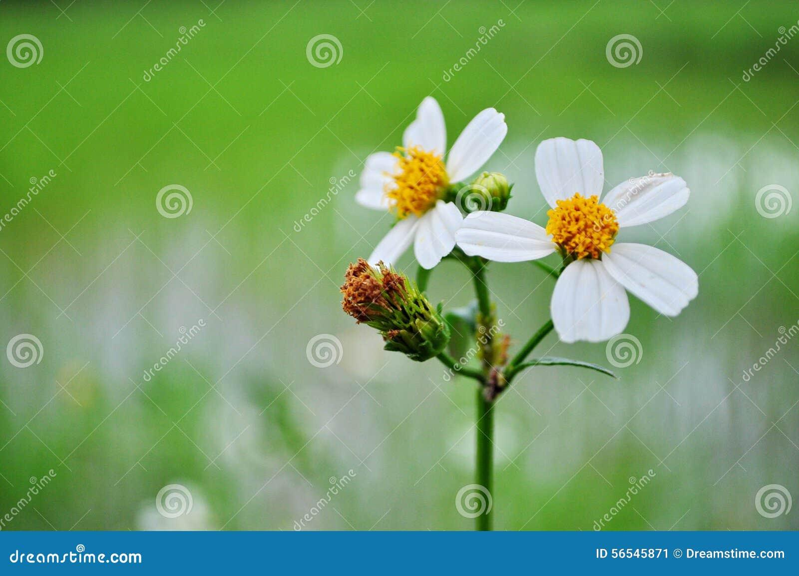White Bloom Stock Image Image Of Beautiful Thai Green 56545871