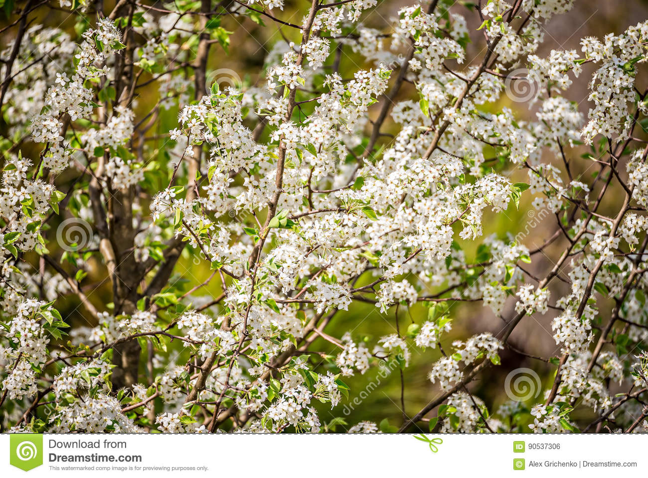 White Bloom On Trees During Spring Time Stock Photo Image Of