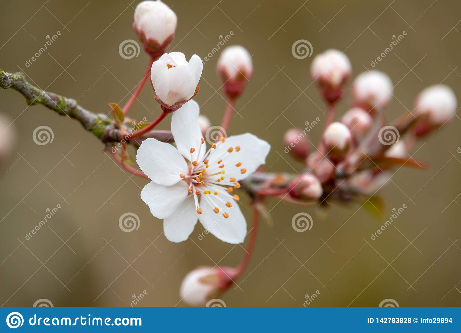 A white blossom in spring
