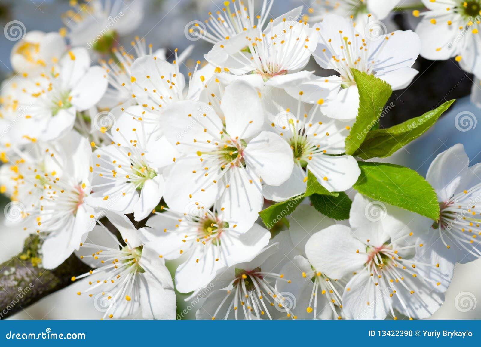 White blossoming cherry tree twig stock photo image of garden white blossoming cherry tree twig mightylinksfo