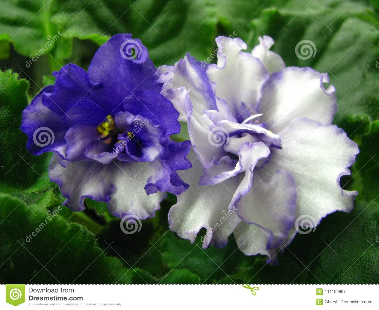 White blue flowers with a blue center and a wavy edge isolated on download white blue flowers with a blue center and a wavy edge isolated on green izmirmasajfo