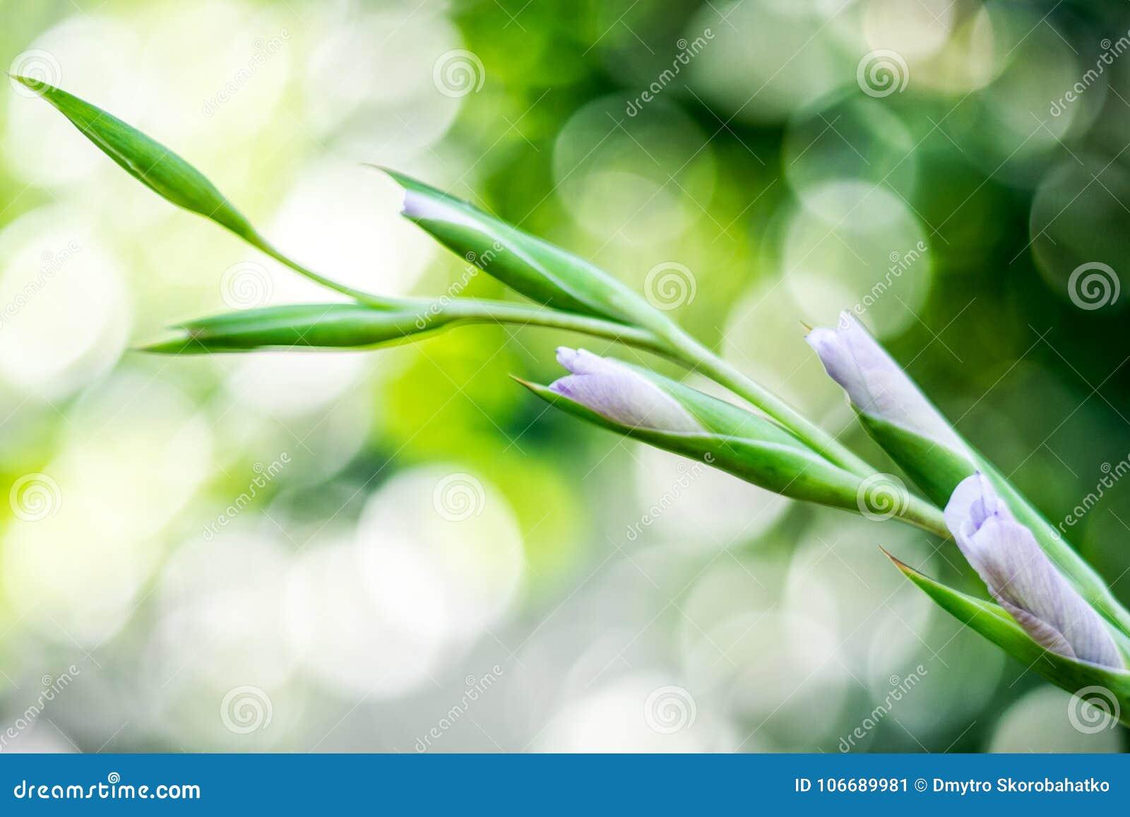 White Blue Flowers Of Gladiolus Bokeh Stock Image Image Of Macro