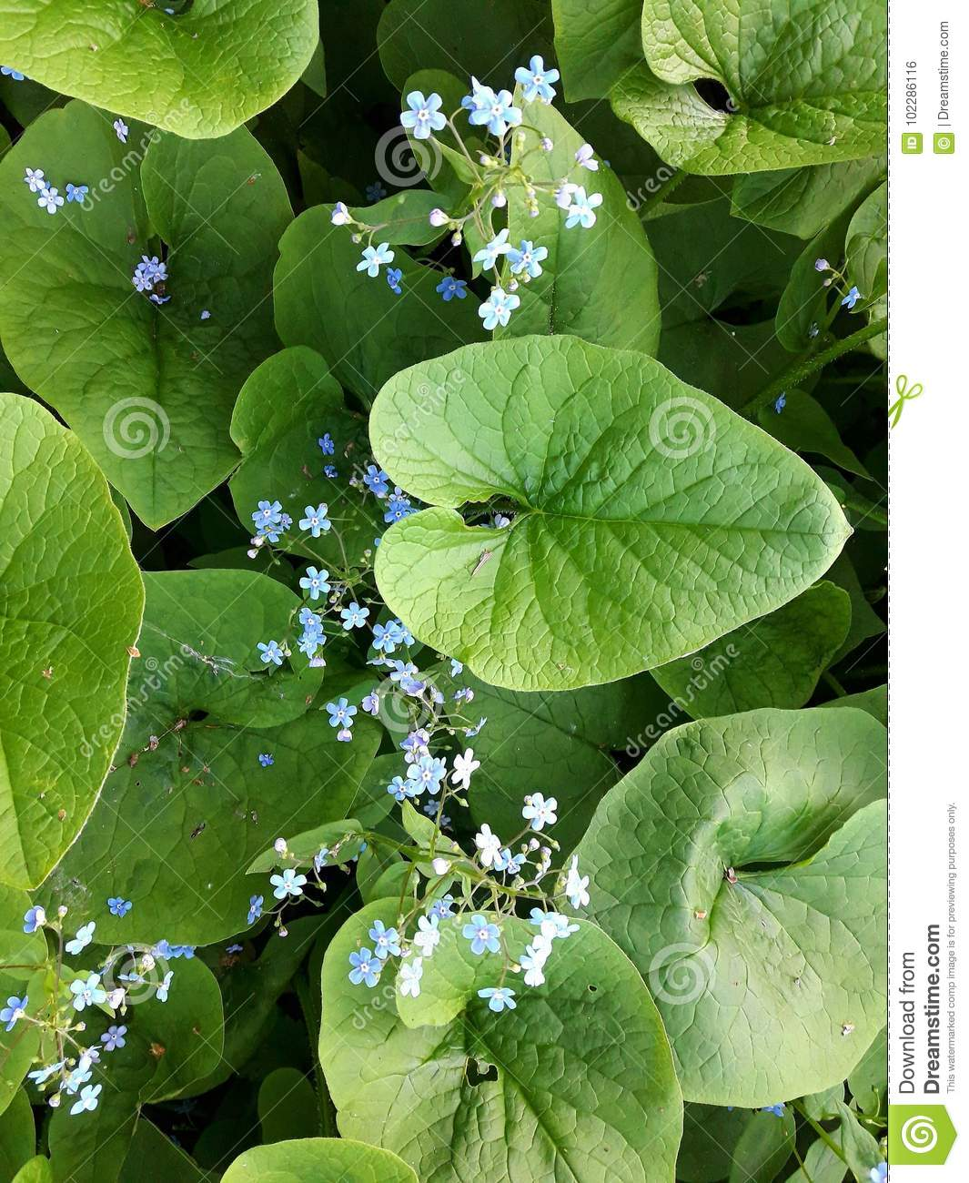 White And Blue Flowers Stock Photo Image Of Small Leaves 102286116