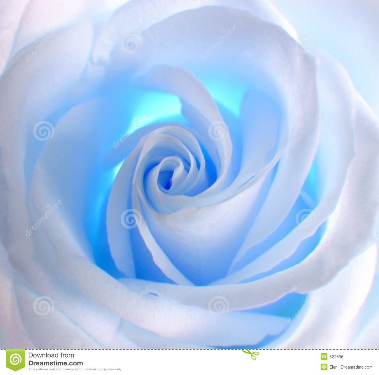 White - blue rose . Decoration for CD of a disk , album and other.