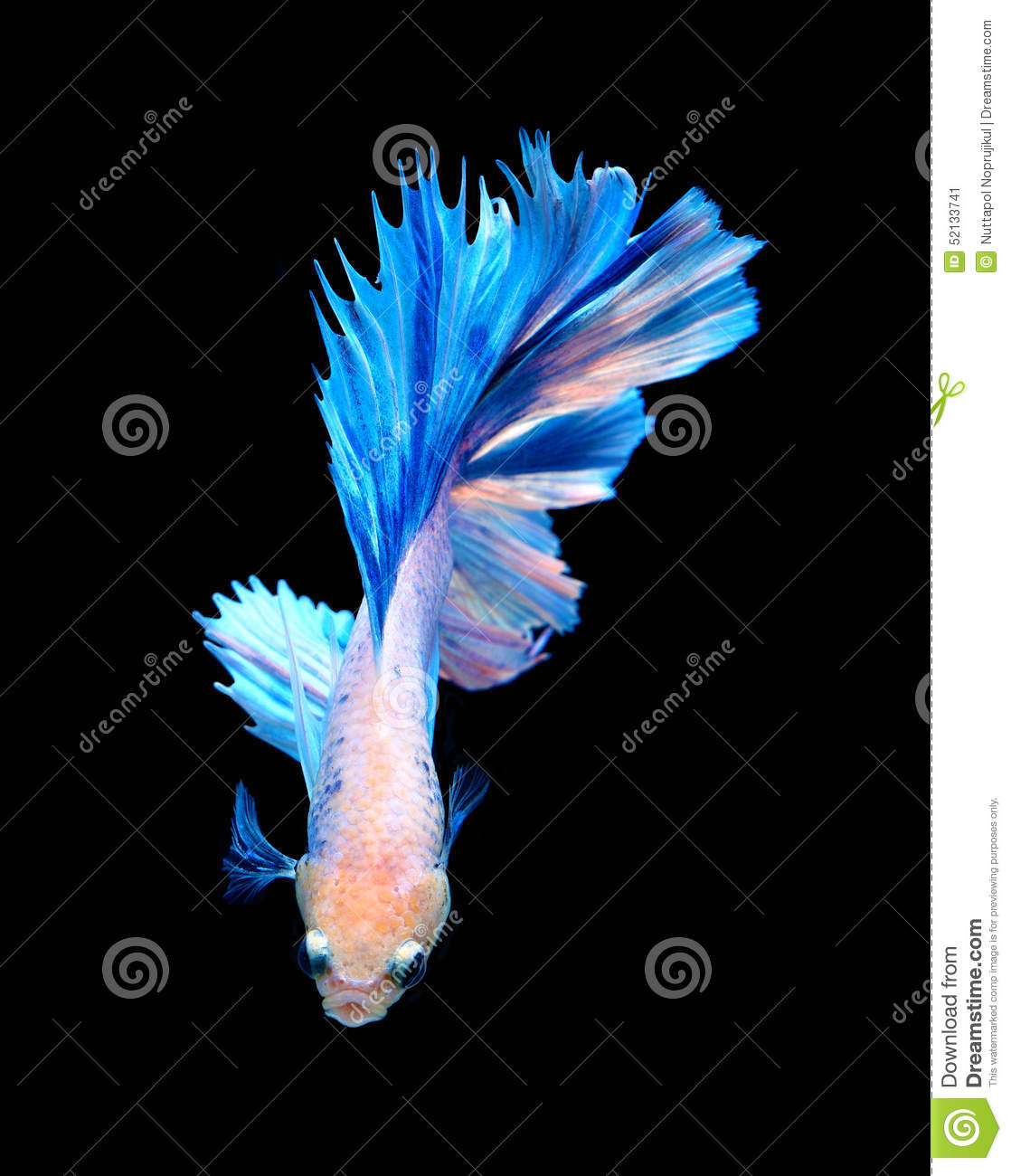 White and blue siamese fighting fish betta fish isolated for Black and white betta fish