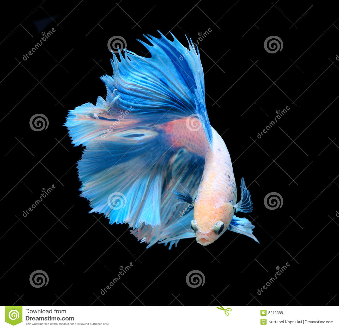 White And Blue Siamese Fighting Fish Betta Fish Isolated On Bla
