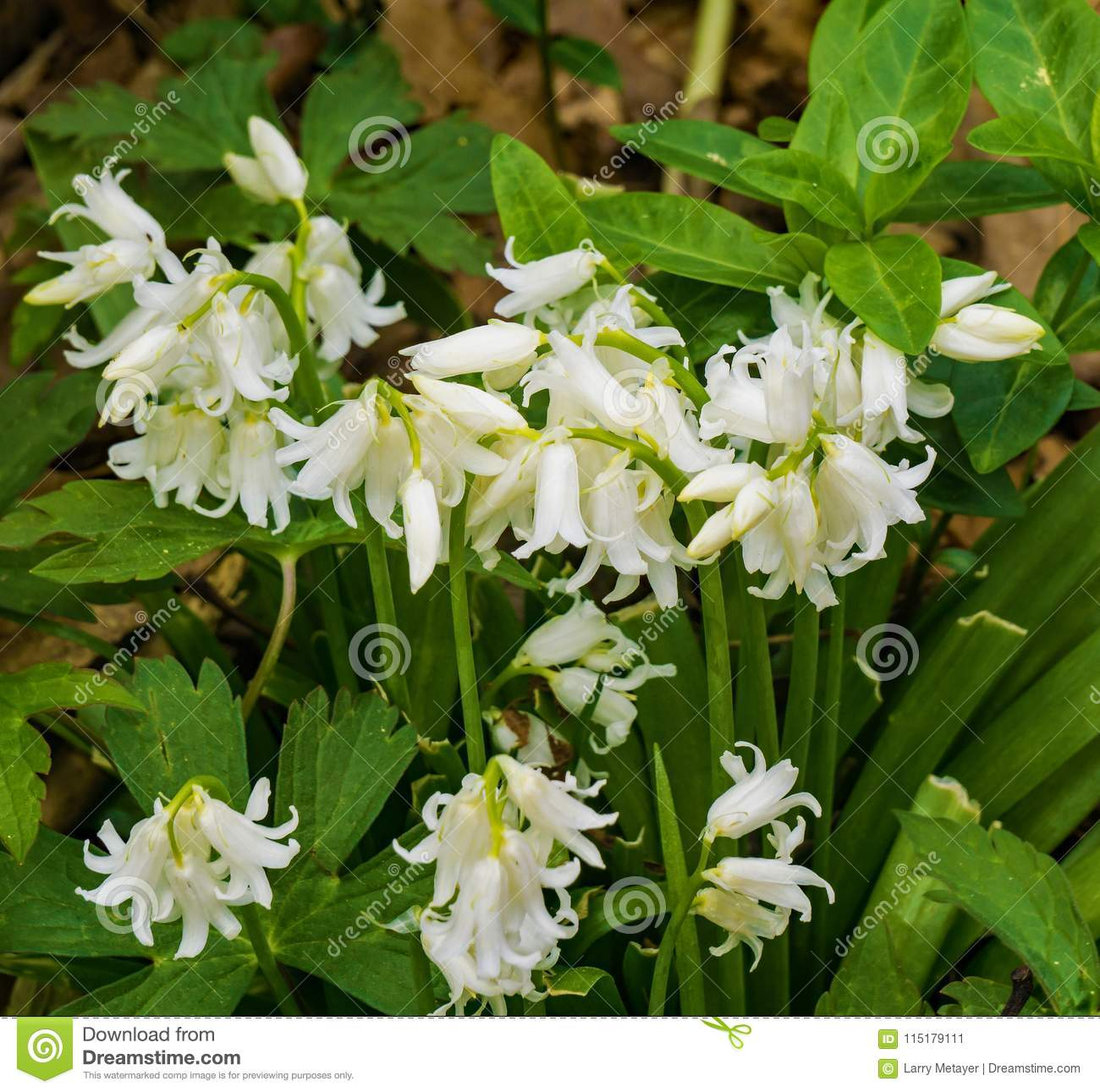 White Bluebells Flowers Stock Image Image Of Delicate 115179111