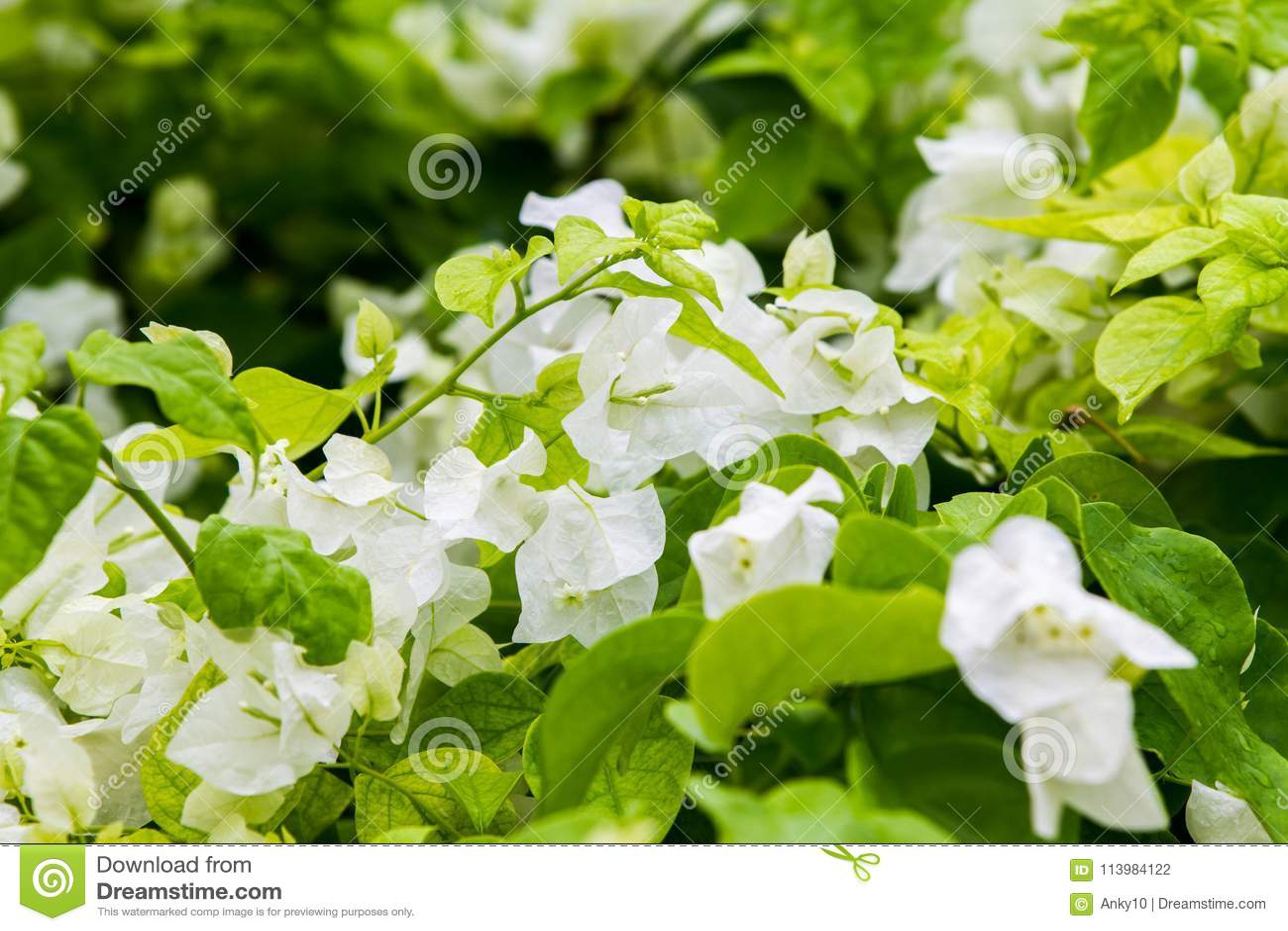 White Bougainvillea Thorny Ornamental Vines Stock Photo Image Of