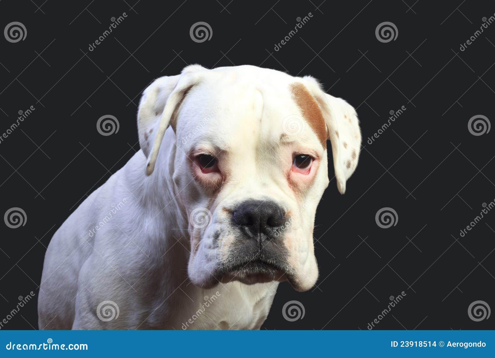 White Boxer Dog Stock Images Image 23918514