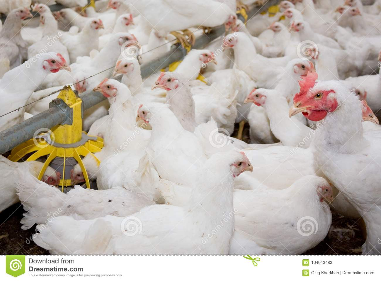 White Broiler Chickens At The Poultry Farm Stock Image - Image of