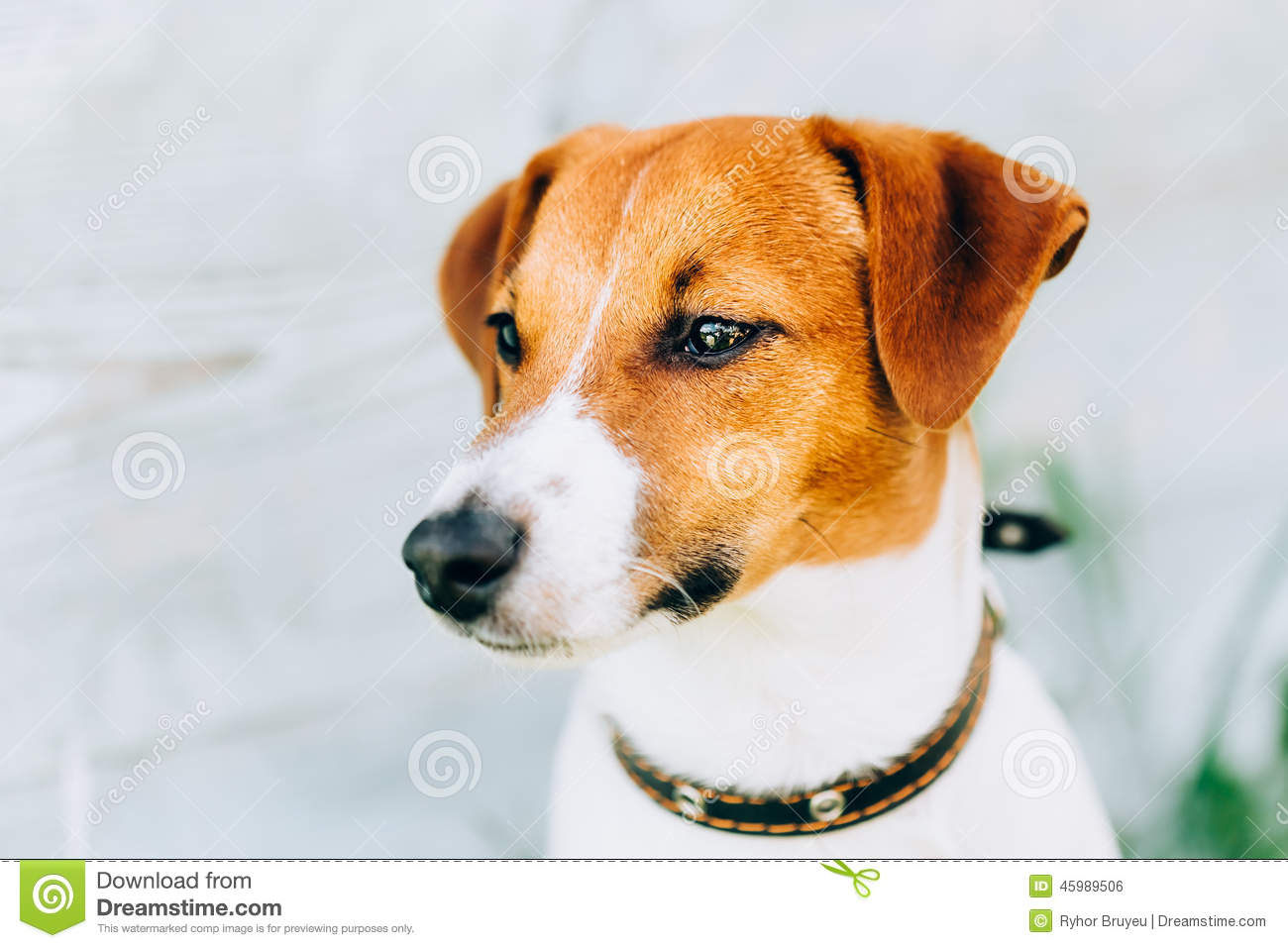 Brown And White Dog White And Brown...