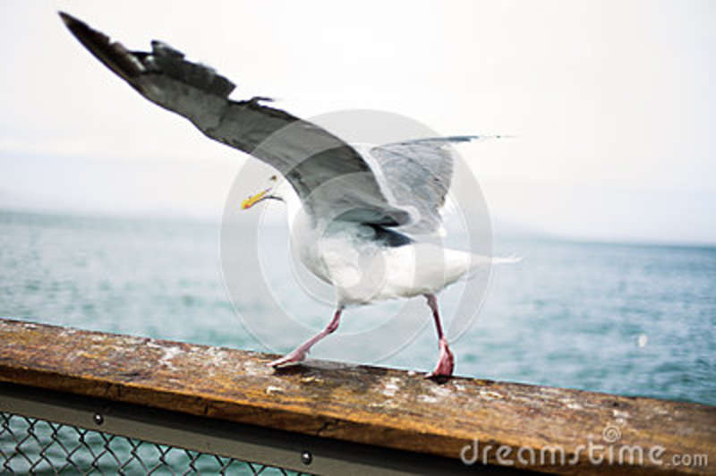 Download White And Brown Feather Bird On Brown Hard Rail Stock Photo - Image of ocean, photo: 84996596