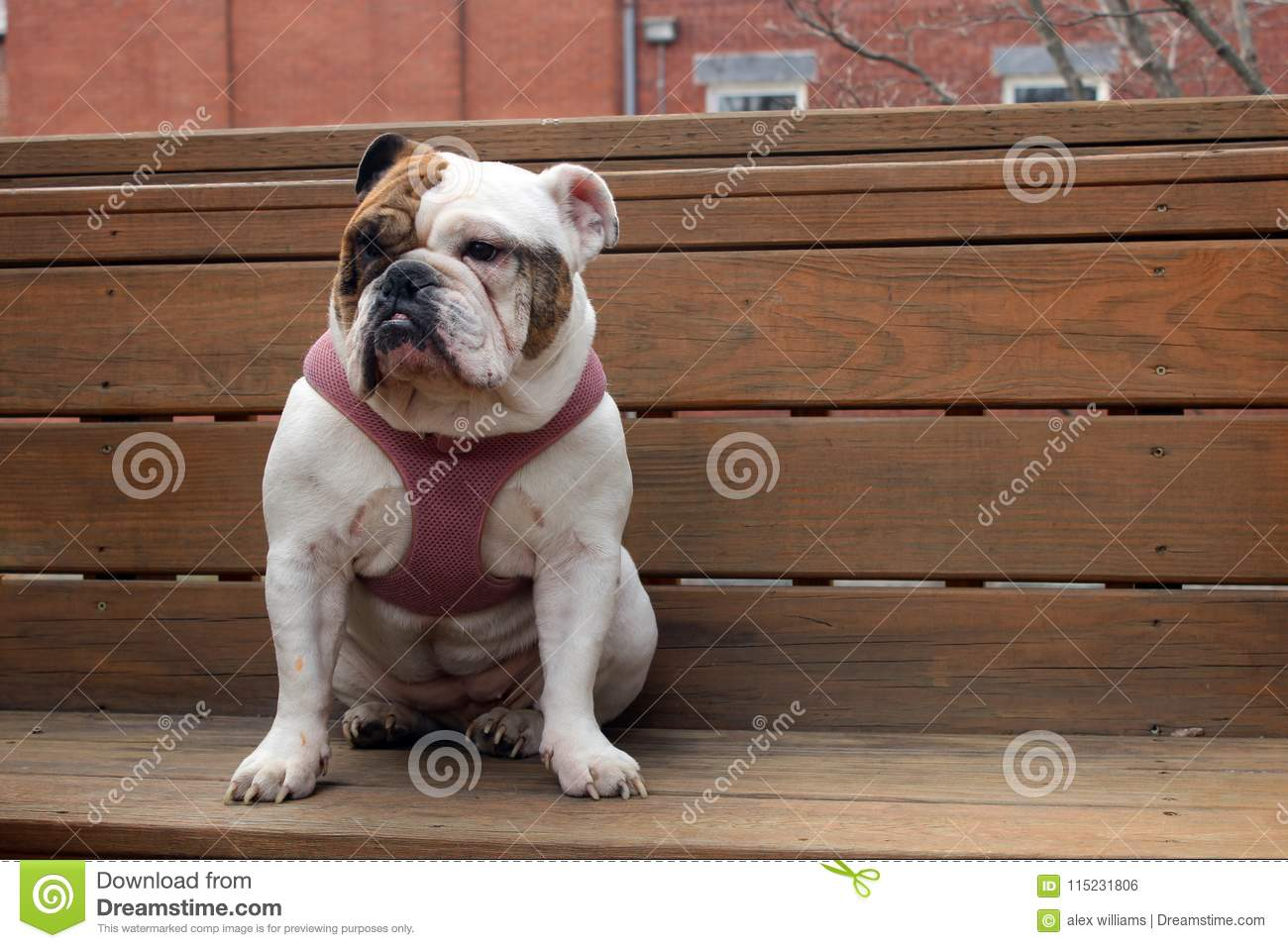 White And Brown Female English Bulldog Wearing A Pink Collar Stock