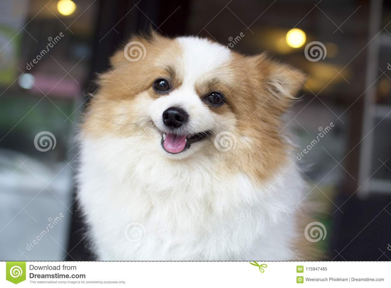 White And Brown Furry Pomeranian Smiling Stock Image Image Of
