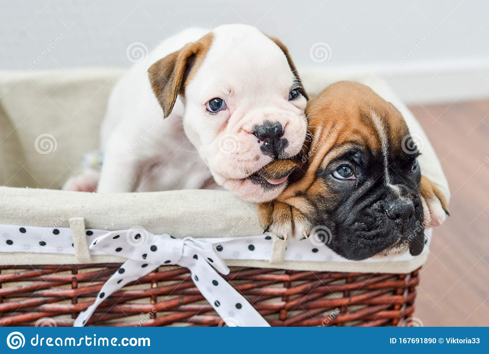 White And Brown German Boxer Puppies The Dog Bites His Ear Boxer Stock Photo Image Of Domestic German 167691890