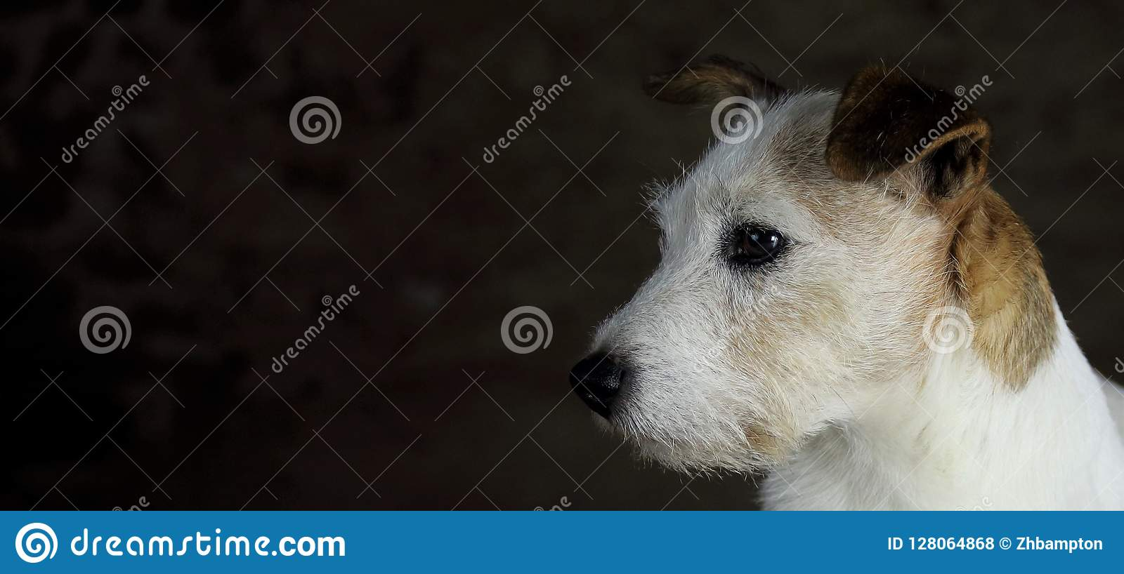 Head of white and brown Jack Russell dog with copy space