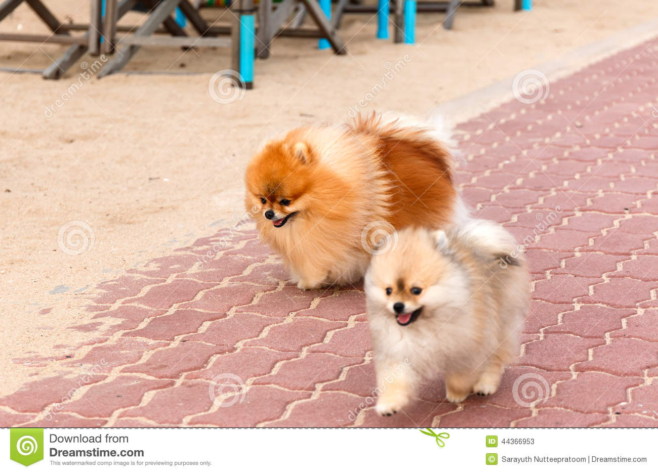 White Brown Pomeranian Puppy Dogs Stock Image Image Of Barking