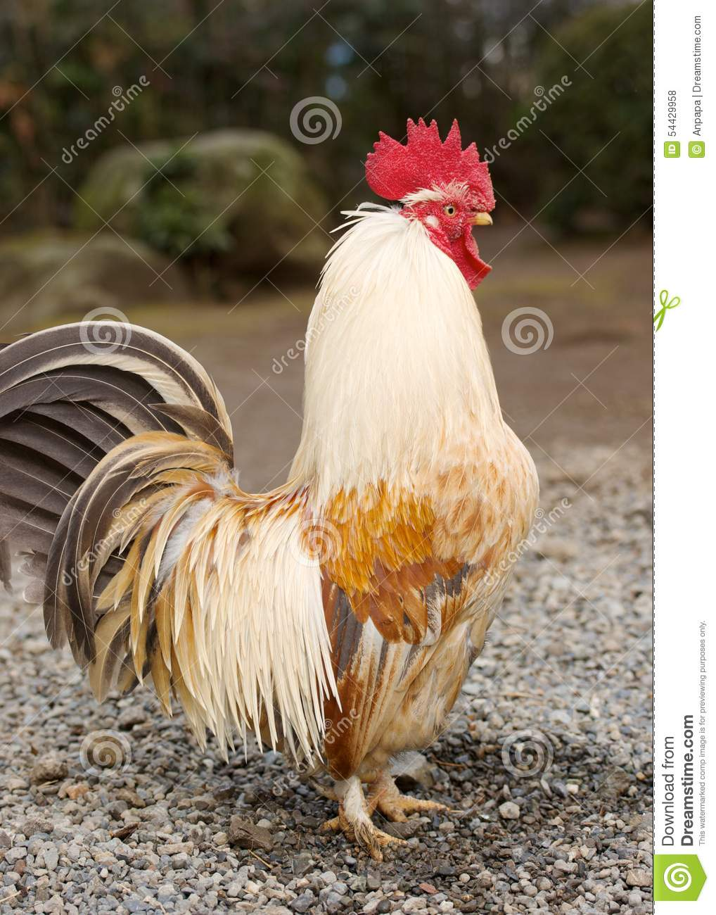White And Brown Rooster Stock Photo Image 54429958
