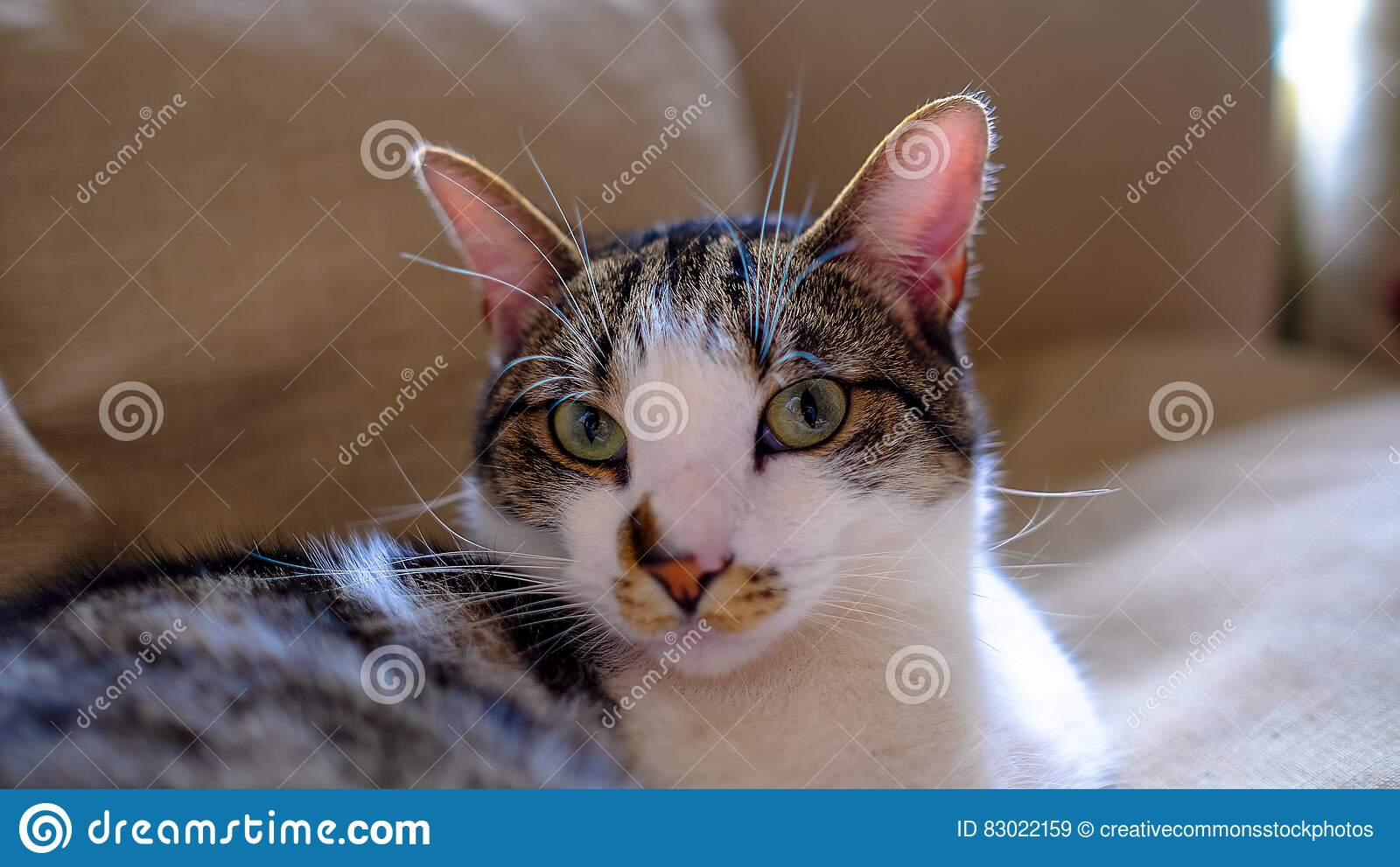 Download White And Brown Short Coated Hair Cat Stock Image - Image of up, animal: 83022159