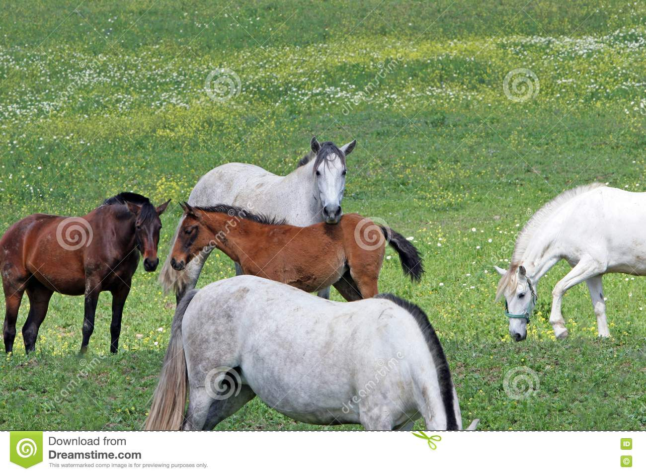 White and Brown Spanish Andalucian horses in a field