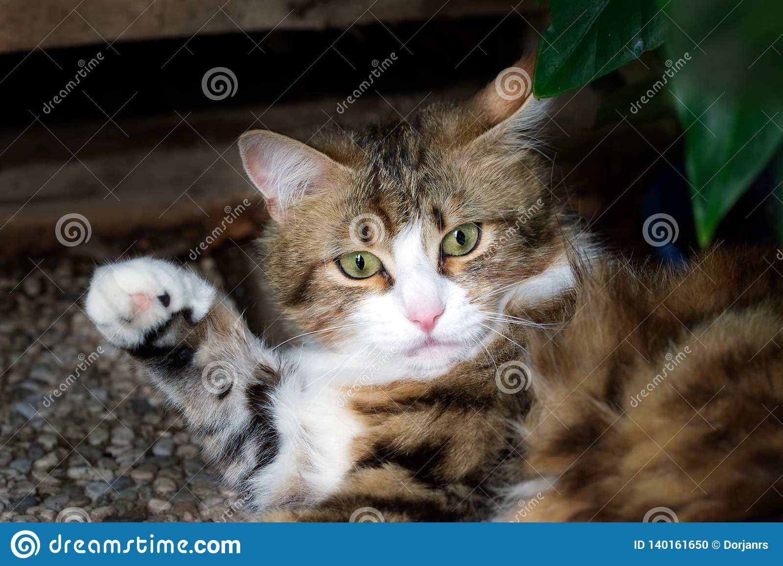 White and brown striped cat raising its paw