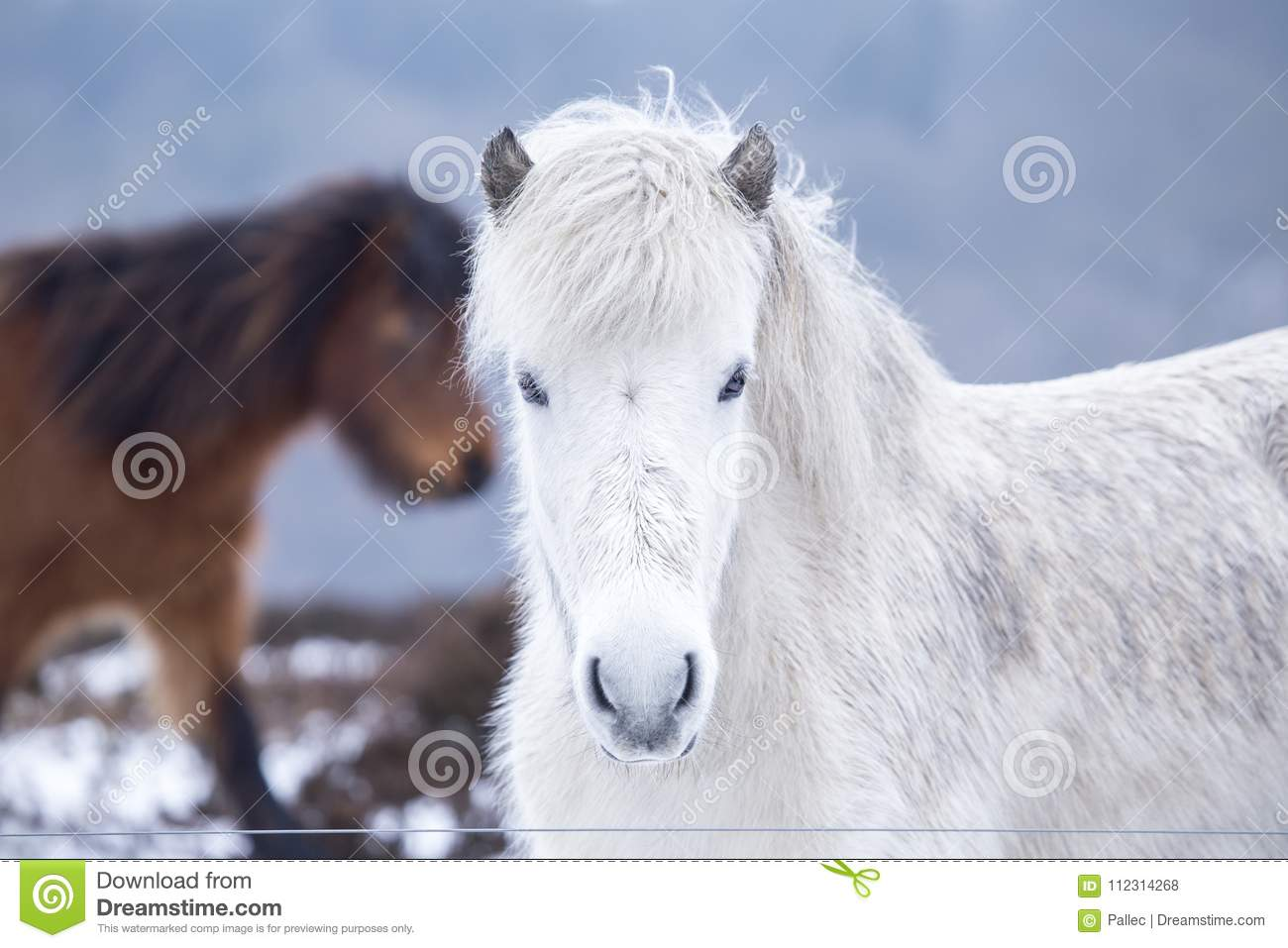 White Wild Horse Looking In The Camera Stock Photo Image Of Equine Beautiful 112314268