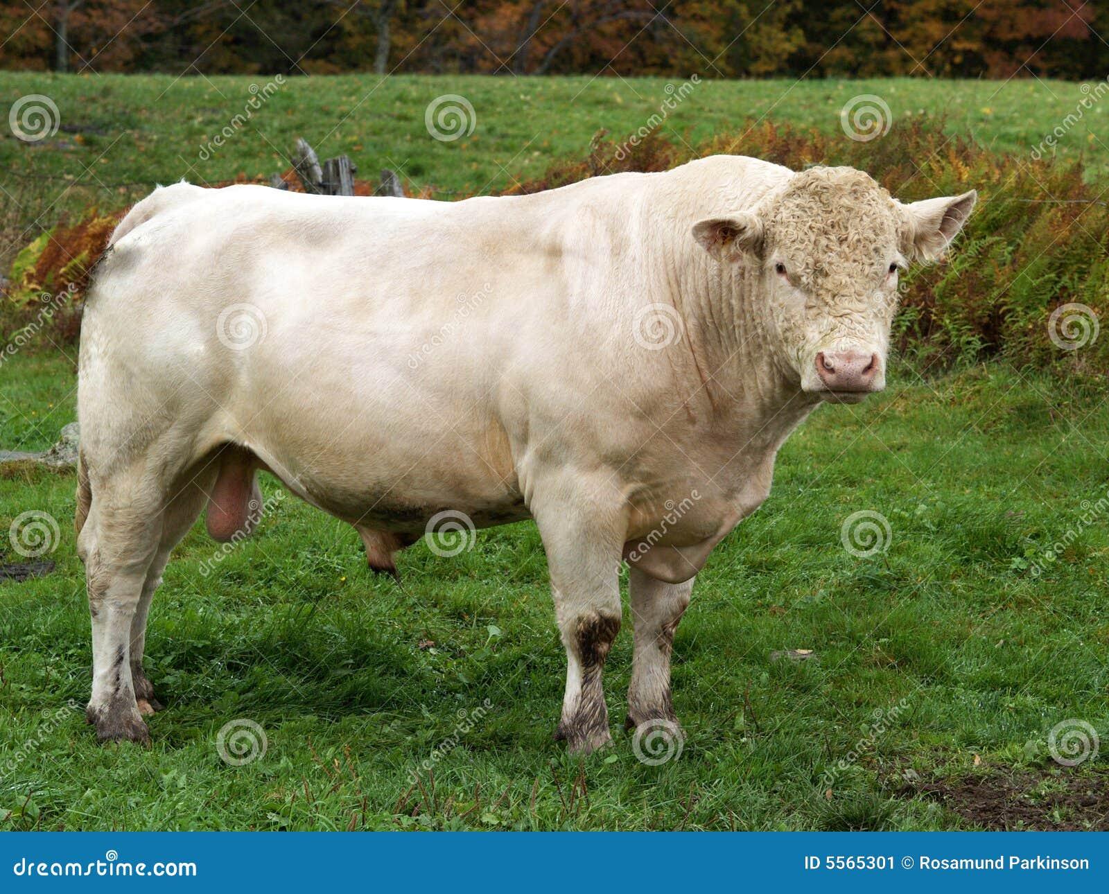 White Bull Stock Image - Image: 5565301