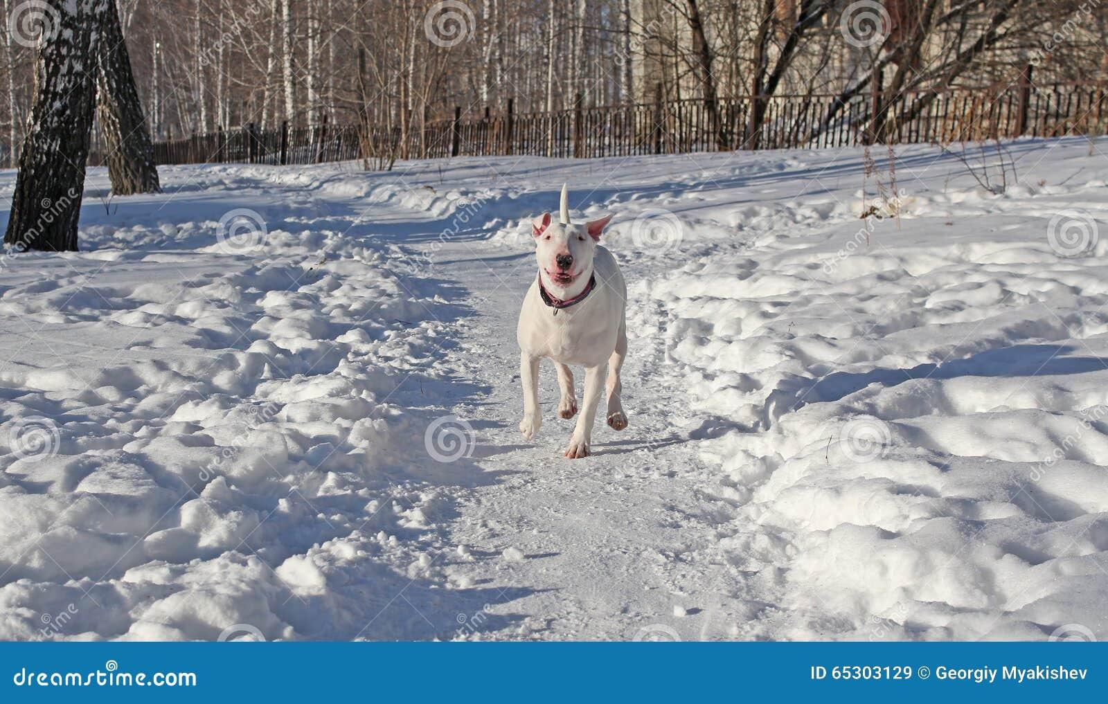White Bull Terrier walks in the winter