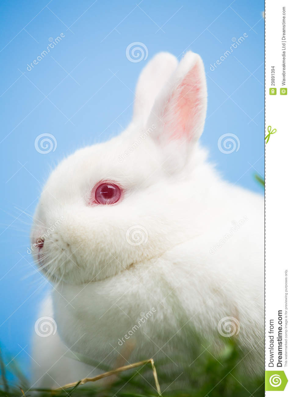 White Bunny With Pink Eyes And Ears Stock Photo - Image ...