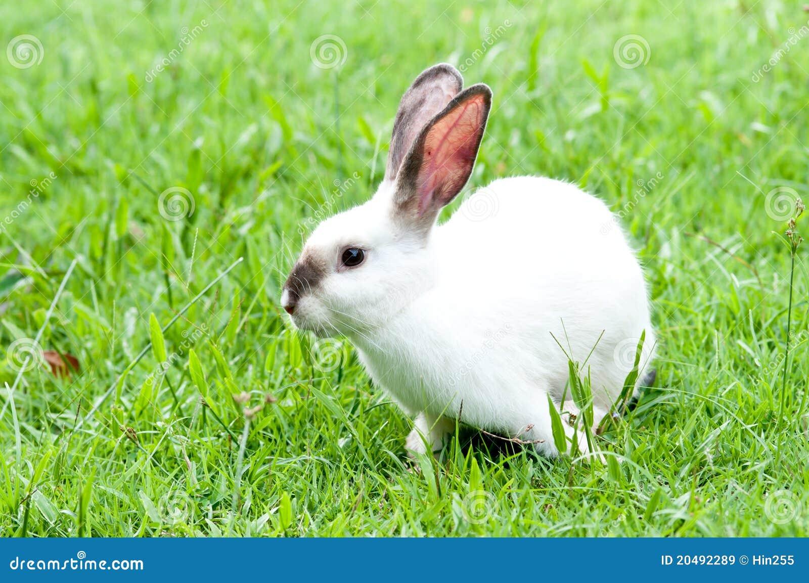 White Bunny On The Yard White Rabbit Royalty Free Stock ...