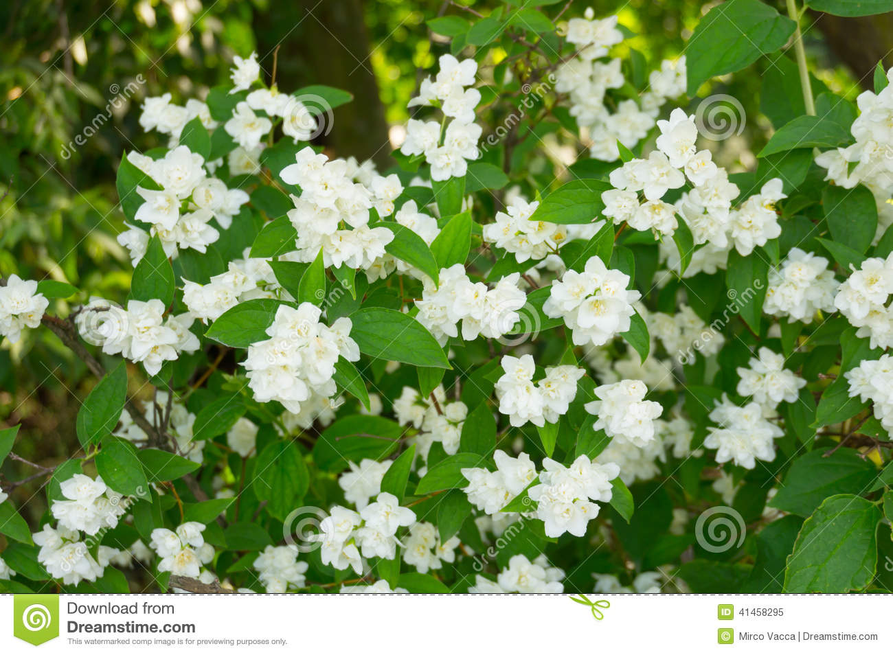 Weigelia Fiori Bianchi.White Bush Flowers Stock Image Image Of Bush Nature 41458295