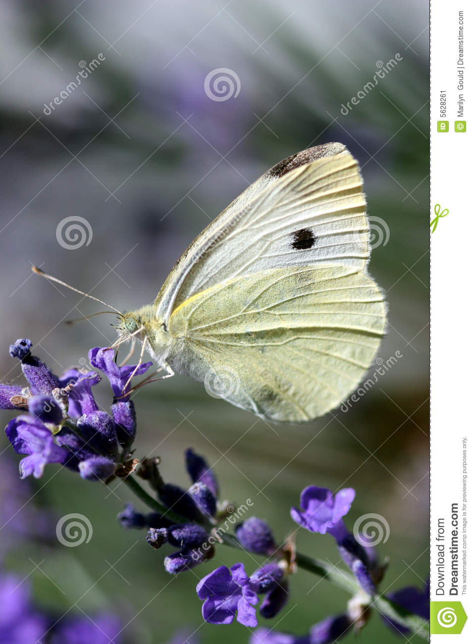 Download White butterfly stock image. Image of rapae, butterflies - 5628261