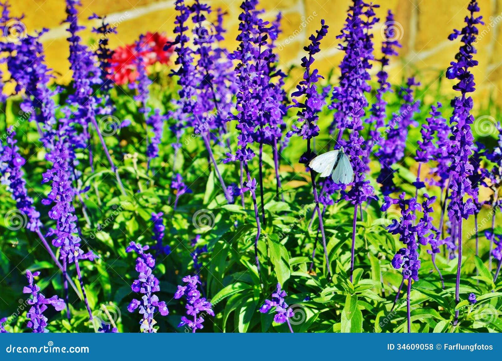 White butterfly on purple flowers stock photo image of pretty white butterfly on purple flowers mightylinksfo
