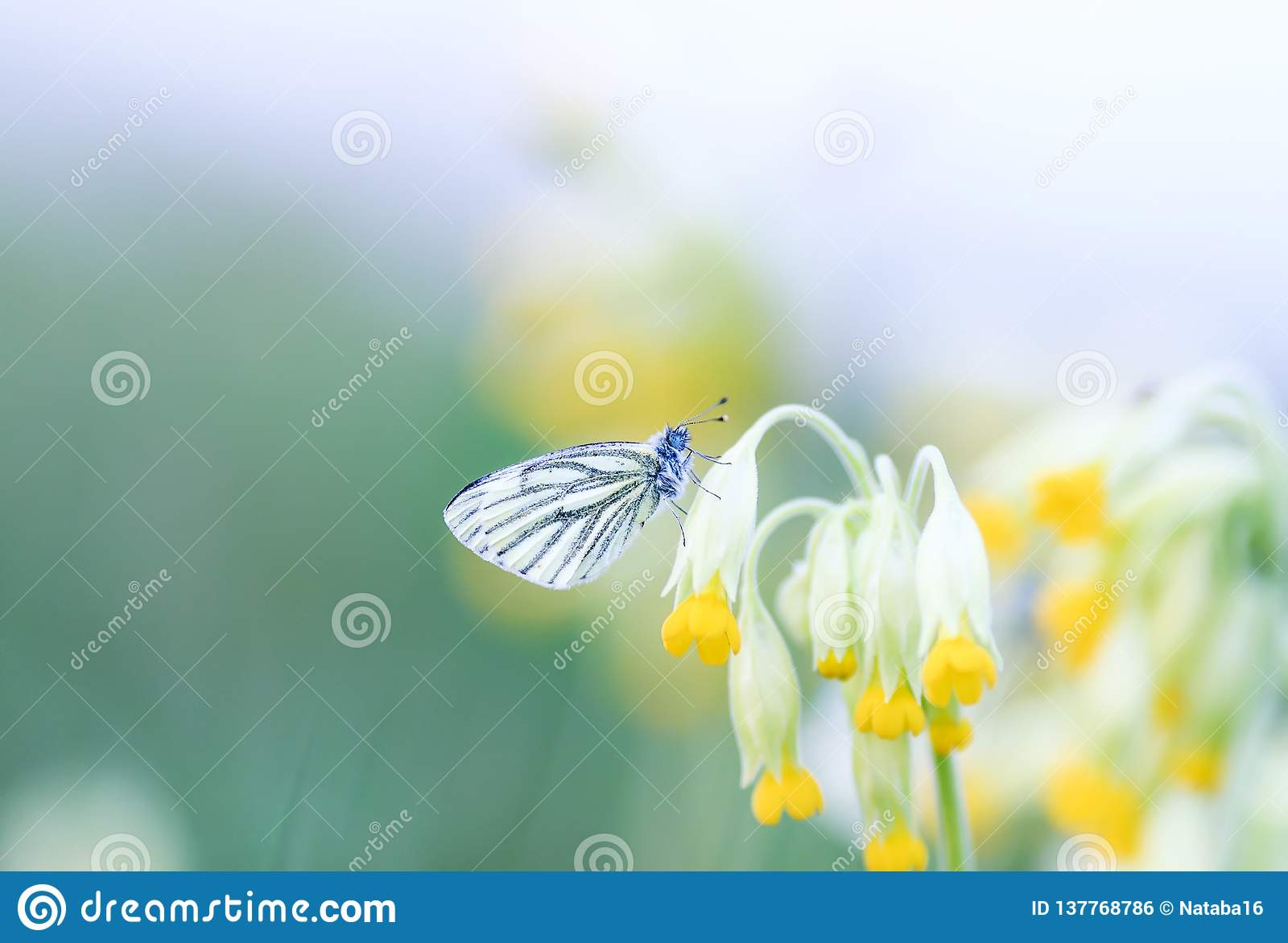 butterfly sitting on a spring green meadow in the yellow flowers of the primrose