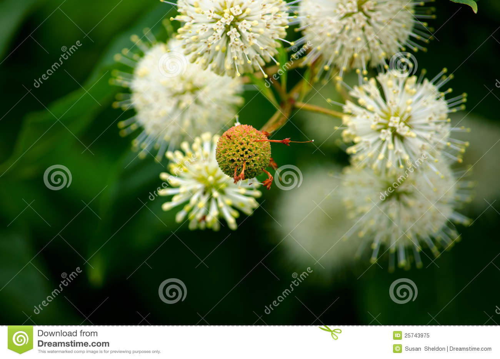 White button bush