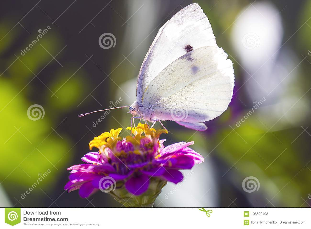 White Cabbage butterfly on pink zinnia flower, side view