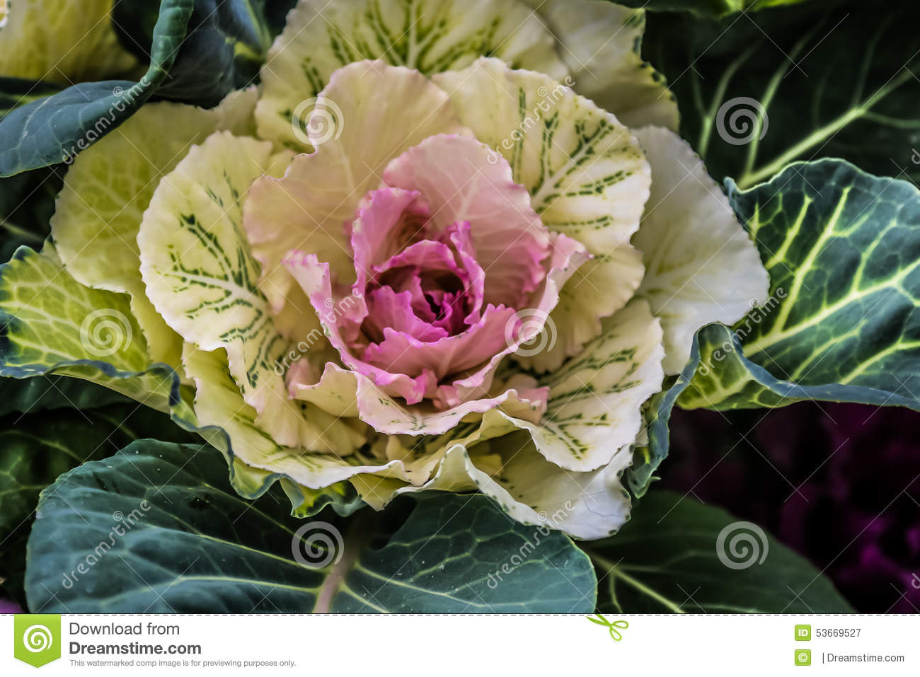 White Cabbage Flower Stock Image Image Of Center Photograph 53669527