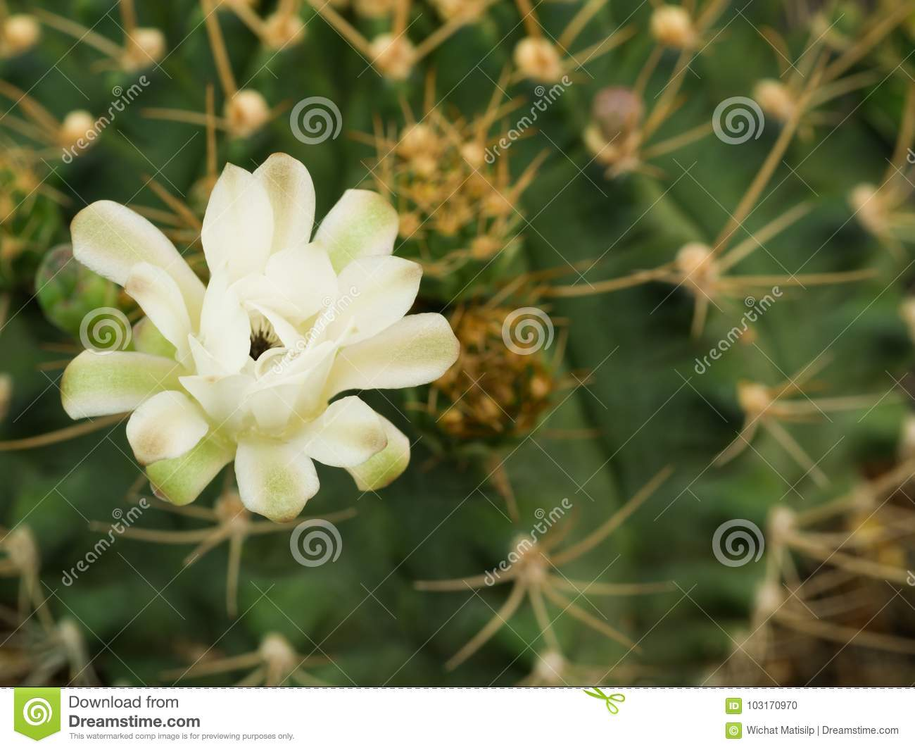 White Cactus Flower Blooming Stock Photo Image Of Color Floral