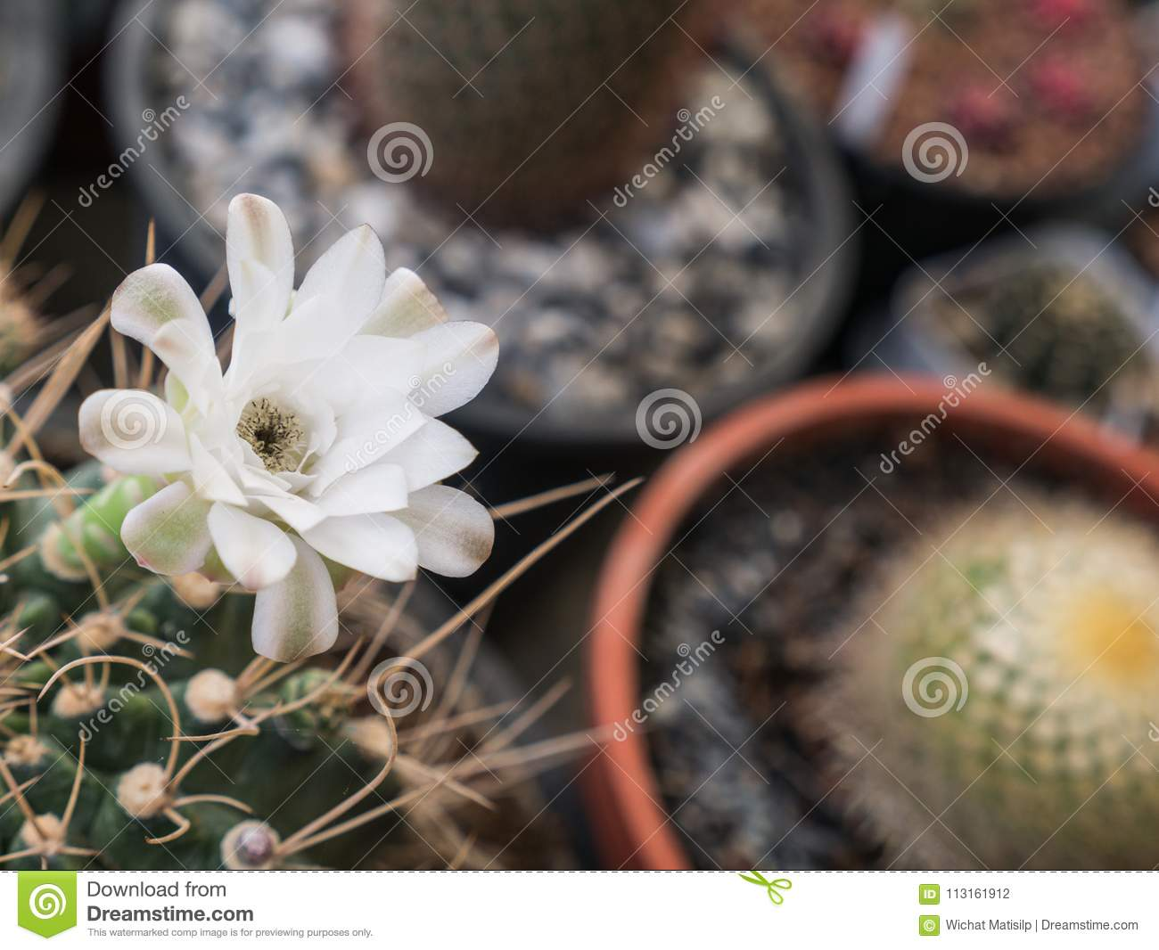 White Cactus Flower Blooming Stock Photo Image Of Cactus Home