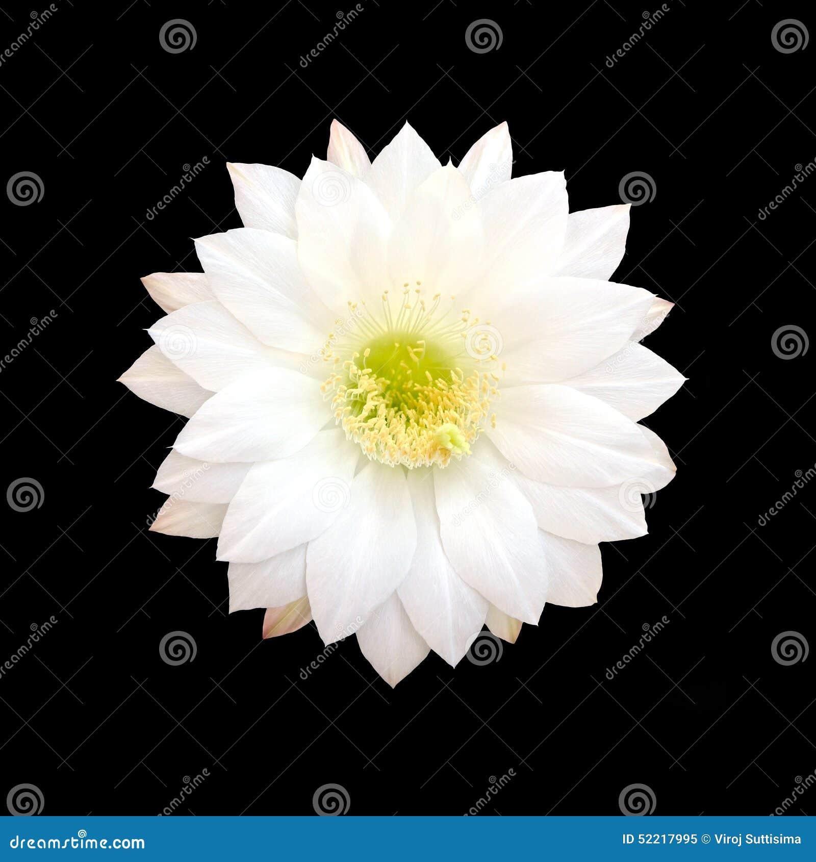 White Cactus Flower Isolated On Black Background Stock Photo