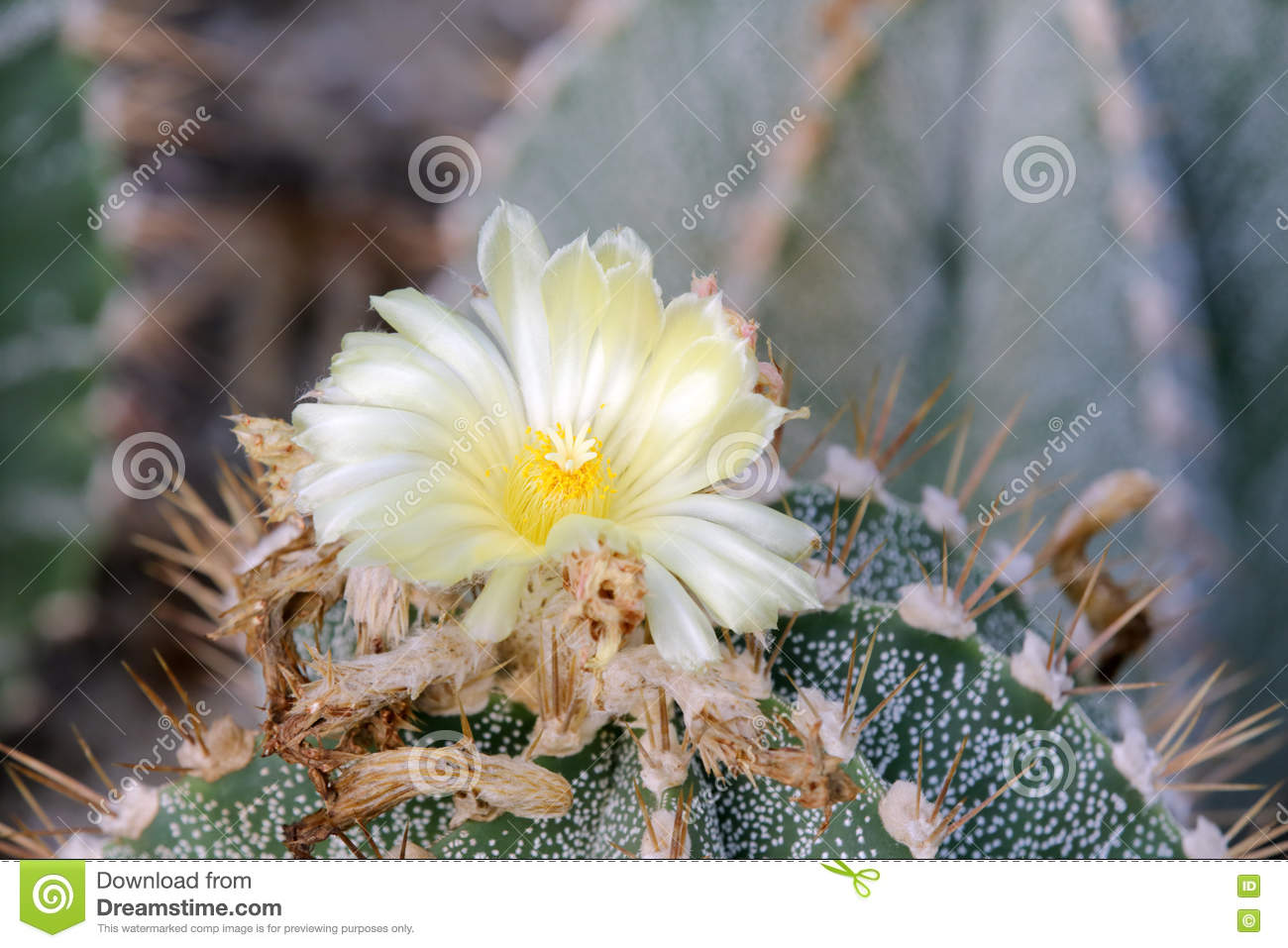 White Cactus Flower Stock Photo Image Of Agriculture 73323406
