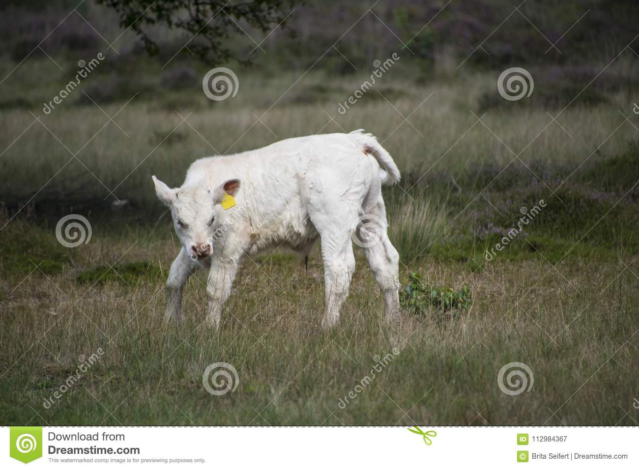 White calf standing in the meadow at the farm