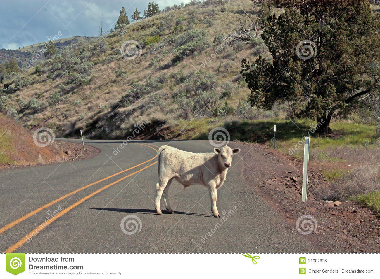 White Calf Standing In The Road